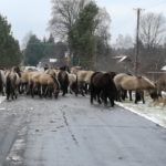 Koniki polskie na Szumach
